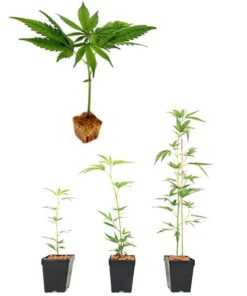 esquejes de cannabis light