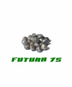 Cannabis seeds of the Futura 75 quality