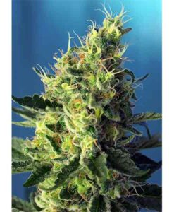 Seeds sweet pure Cbd