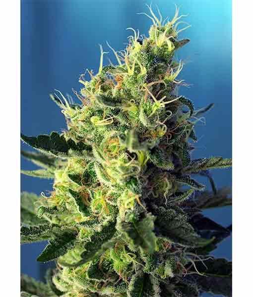 Seeds sweet pure Cbd